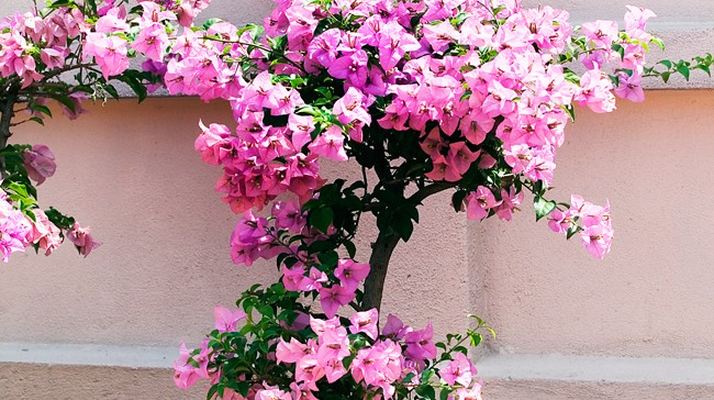 MALAYSIA_OLD_CHINESE_MANS_GARDEN_PINK_POTTED_BOUGAINVILLEA_AGAINST_PINK_WALL_6B1T2550_650x364
