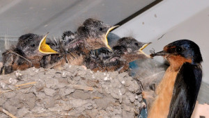 1517802886-mama-barn-swallow-feeds-her-little-ones-cheap-carport.jpg