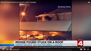 Man Discovers Moose On His Roof | Realtree Camo Carport Roof Noise